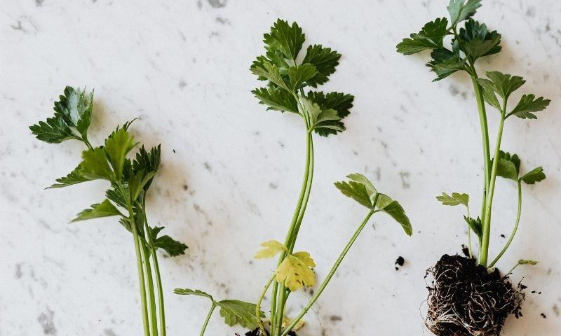 Deiters-plantas-medicinales3