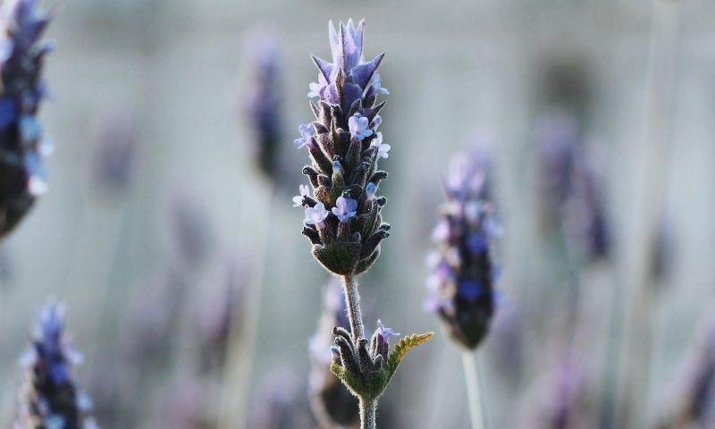 planta medicinal lavanda